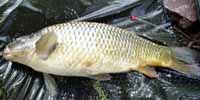 Fishsoutheast - 8lb common